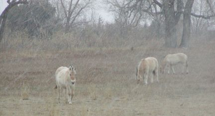 the herd in light snow